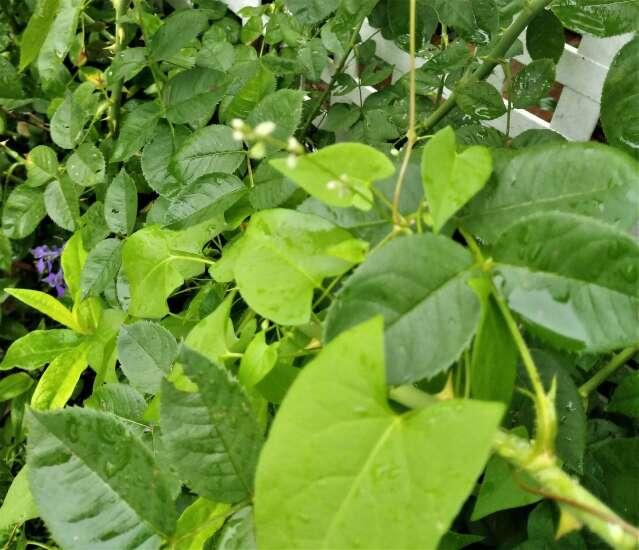 The Iowa Gardener: Prepare to do battle with bindweed