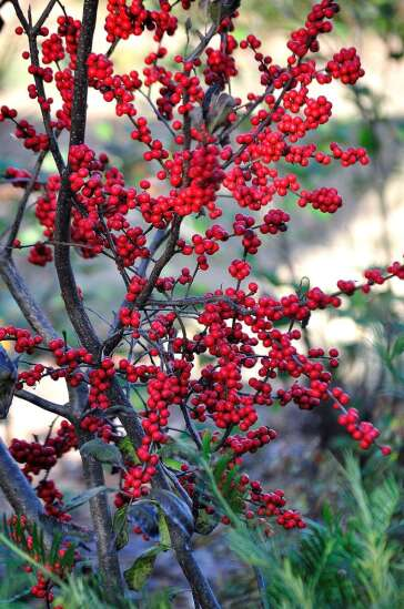 Winterberry hollies create a hillside of gold