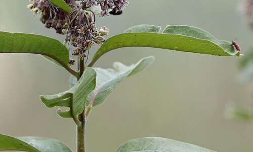 When is it time to cut down milkweed?