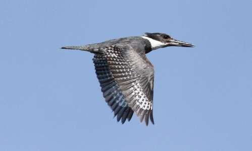 Listen for the belted kingfisher this winter