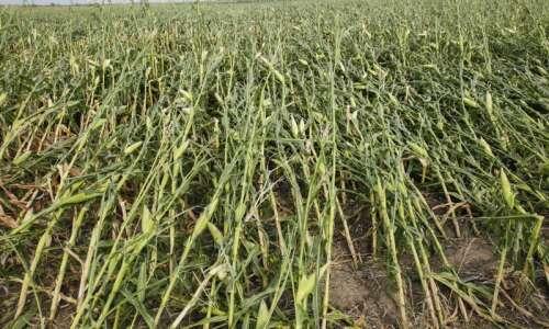 Derecho 'bull's-eye' flattens Iowa cornfields