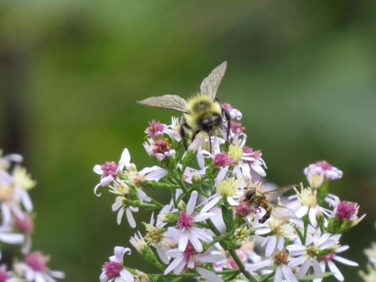 Cedar Rapids befriends the pollinator, and the nation notices