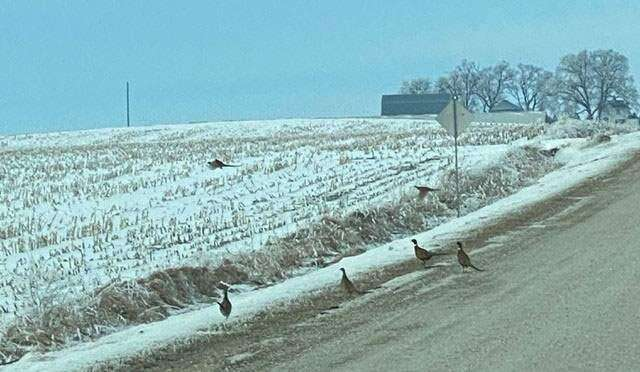Finding pheasants not always an easy task