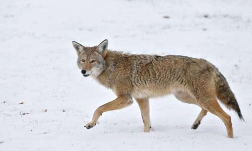 Man shot in leg while pursuing coyote in Benton County