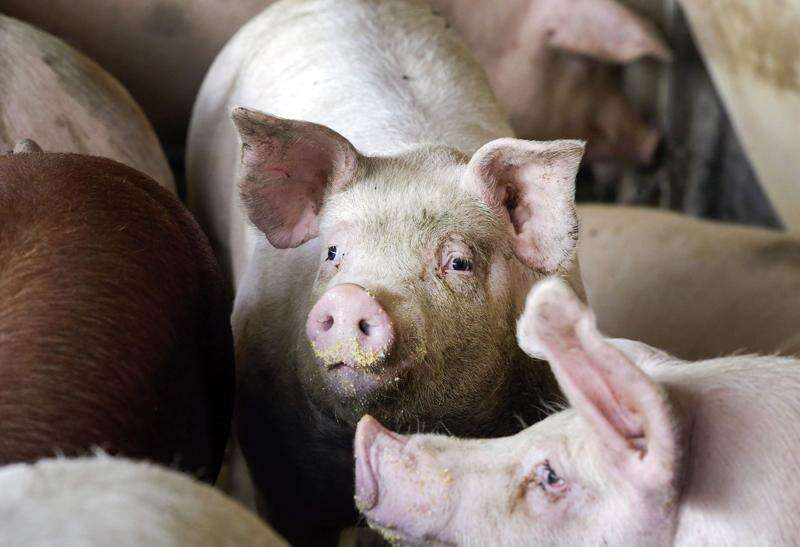 Slaughterhouses reopen but farmers still euthanizing pigs