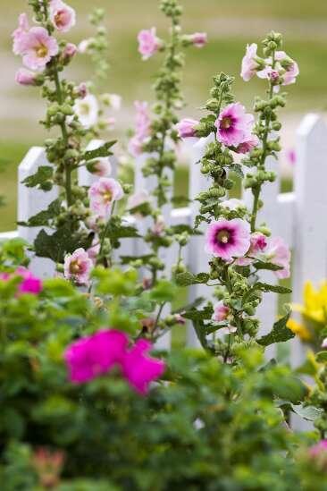 The Iowa Gardener: How to grow the regal hollyhock