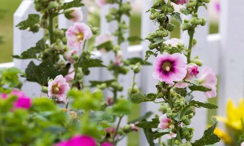 How to grow the regal hollyhock