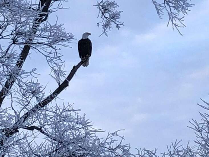 The success story of bald eagles in Iowa