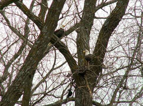 Frigid winter threatens Decorah eagle eggs