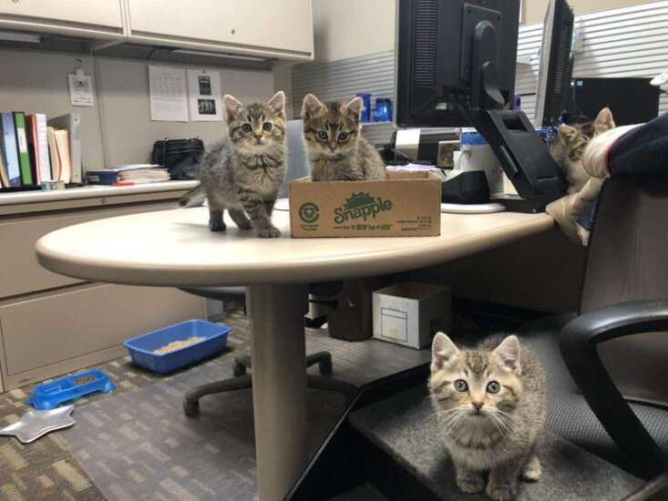 These kittens found a foster home at a Cedar Rapids credit union