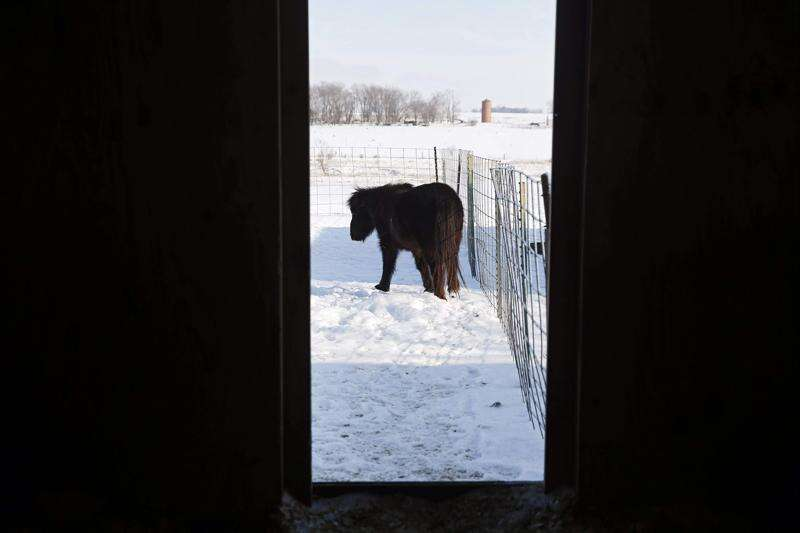 Neglected animals, including two sheep from Cricket Hollow, find safe home at Hercules Haven near Cedar Rapids