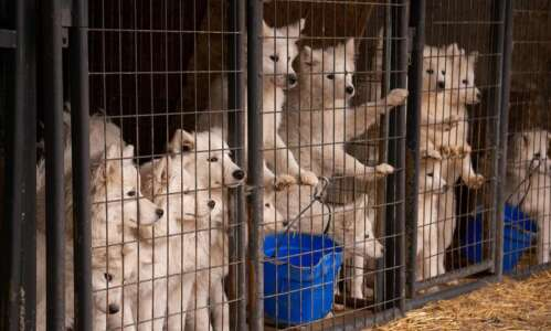 Samoyeds removed from Worth County puppy mill find happy homes