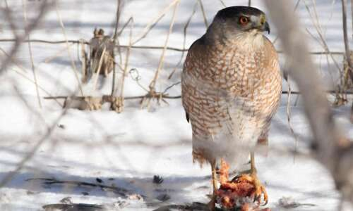 Hawks can bring fear and awe to your backyard