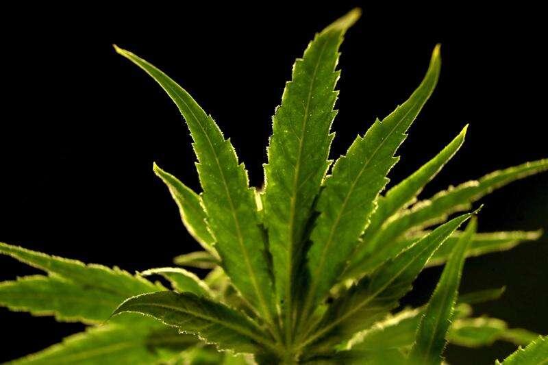 Western Illinois explores cannabis classes