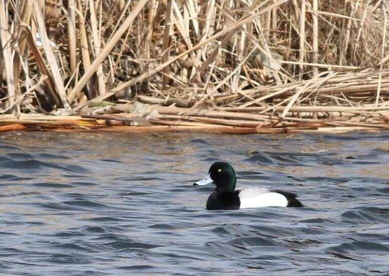 Bird-watching: Duck, duck, goose
