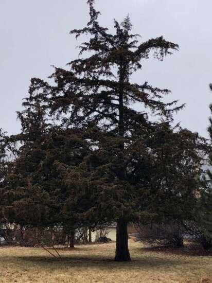 Iowa-native red cedar trees are a hardy option