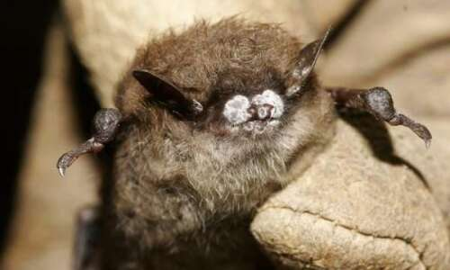 Iowa gets federal grant to study white-nose syndrome in bats