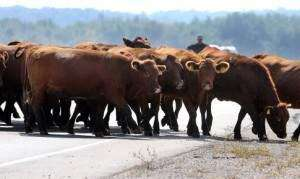 Cattle deaths from heat mounting in Iowa