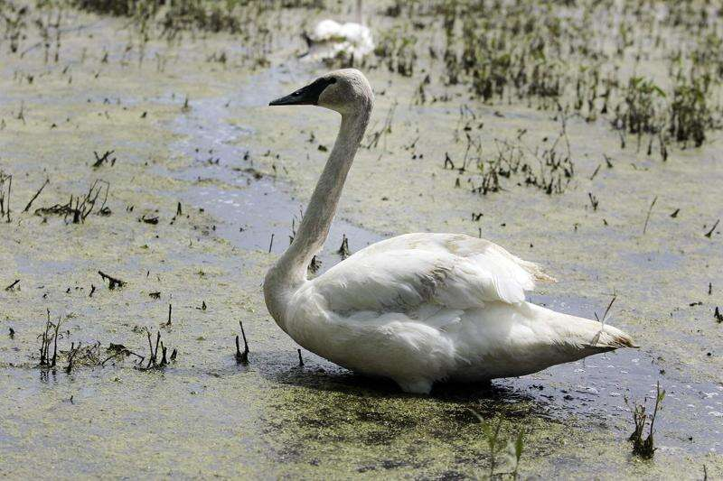 Eastern Iowa men charged with illegally shooting trumpeter swan