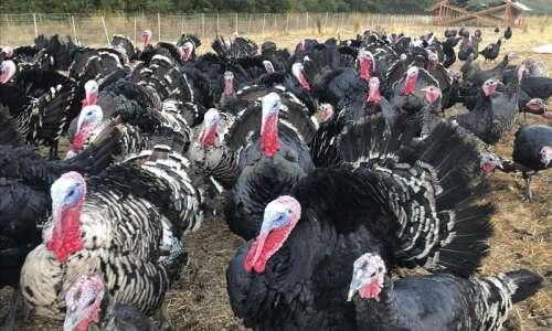 The luckiest turkeys get presidential pardons