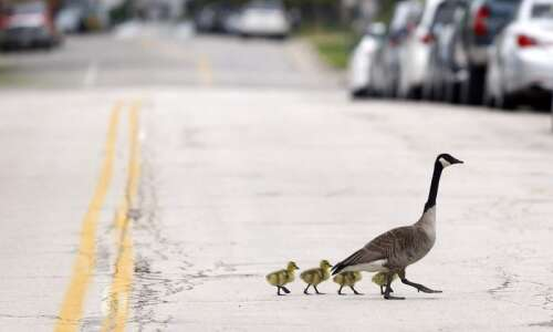 Photos: From Goose to Goslings