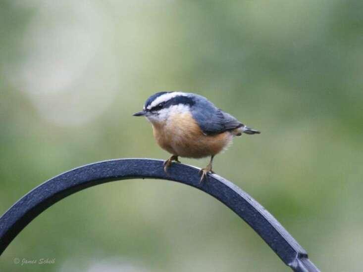 COMMUNITY: Unusual visitors to Iowa bird feeders