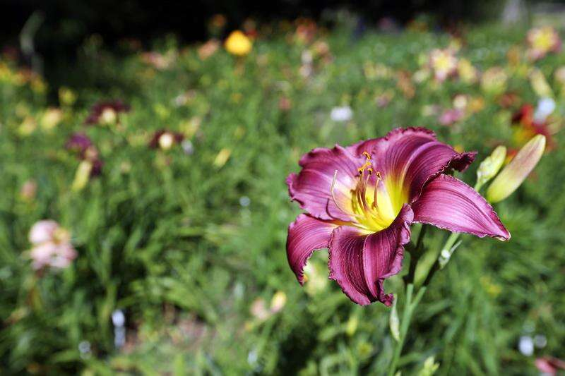 Cottage-in-the-Meadow Gardens highlights old and new plants alike
