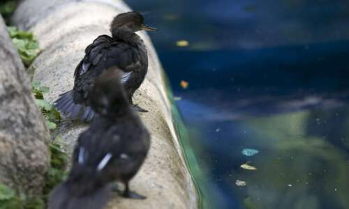 Meet the newest babies of the pandemic: The ducklings at…