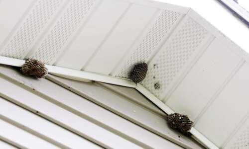 Wasps abuzz after warmer Iowa winter