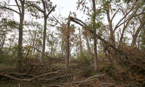 How should Cedar Rapids replenish trees downed in derecho?