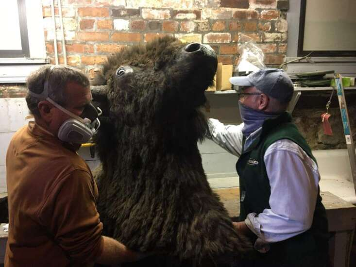 Taxidermist repairs bison head at museum