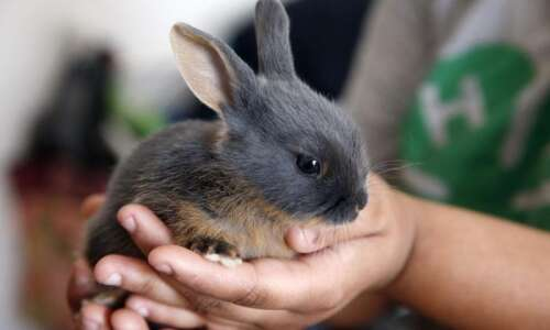 Iowa 4-H member shows her rabbits at a different kind…