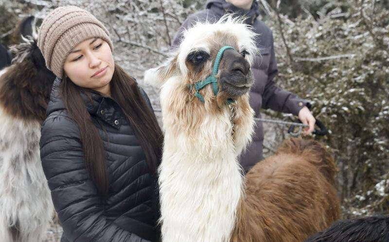Hoofing it with llamas? You can do that in Eastern Iowa