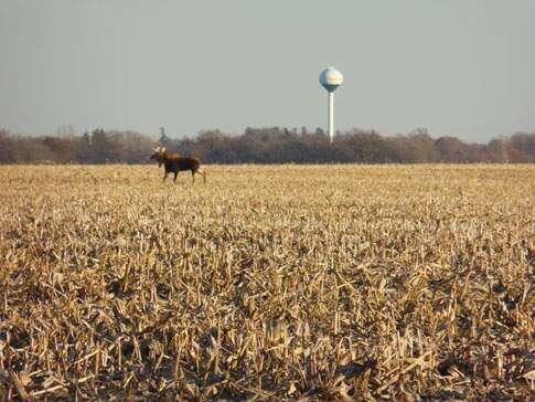 Moose attracts attention in Cedar Rapids