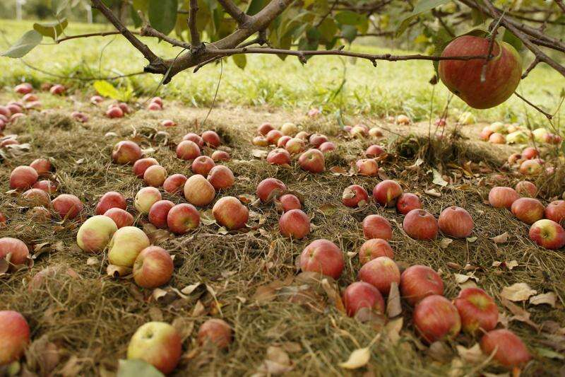 Apple orchards battle waste