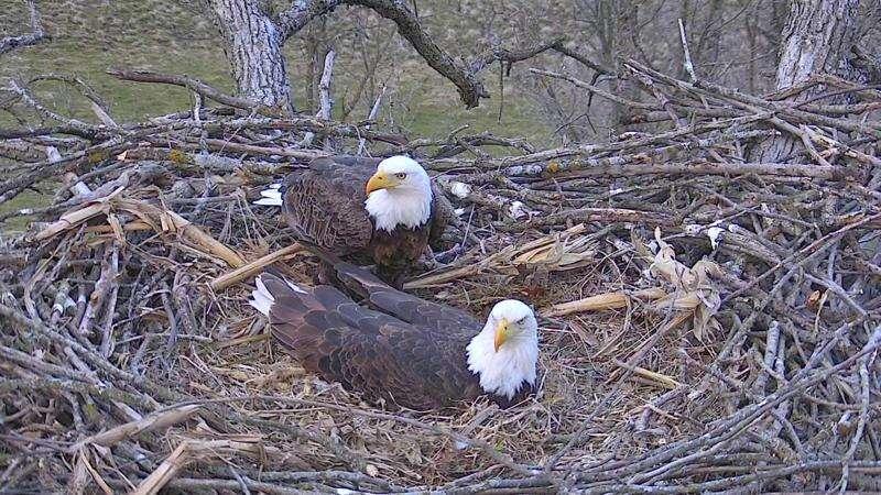 Viewing Decorah's celebrities: Bald eagles
