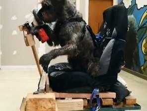 VIDEO: SPCA teaching dogs to drive Mini Cooper