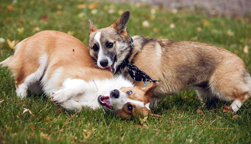 It's corgi cuteness overload at Iowa City park