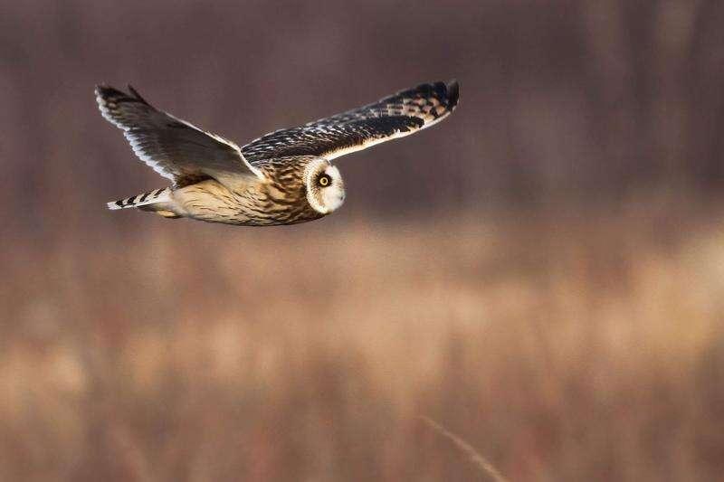 Owls of winter