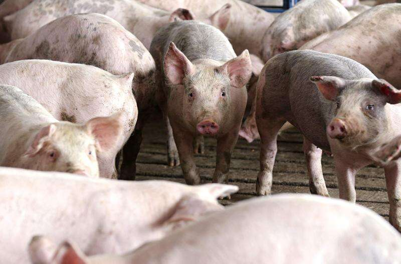 Americans are eating more pork now than they have in decades — and here's why