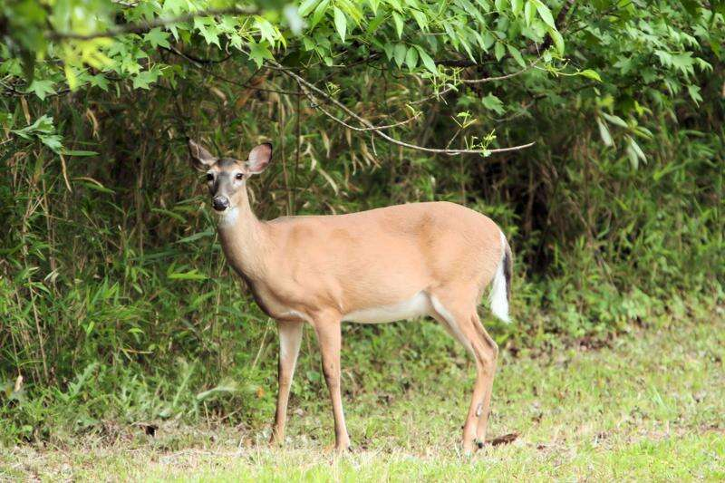 Quarantined Iowa deer tested positive for fatal disease