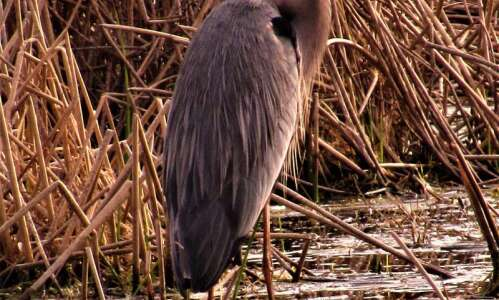 Finding the secret homes for blue herons