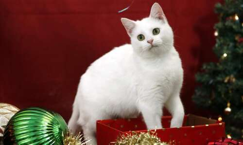 Photos: Meet these 12 Cats of Christmas up for adoption…