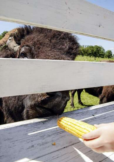 Hawkeye Buffalo Ranch offers up-close prairie experience in Eastern Iowa