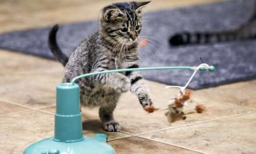 SAINT Cat Rescue helps find homes for homeless cats in…