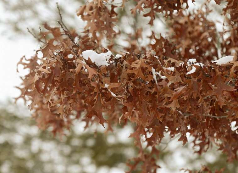 Iowa City launches interactive database of its trees