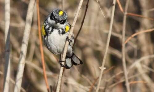 A warbler's world
