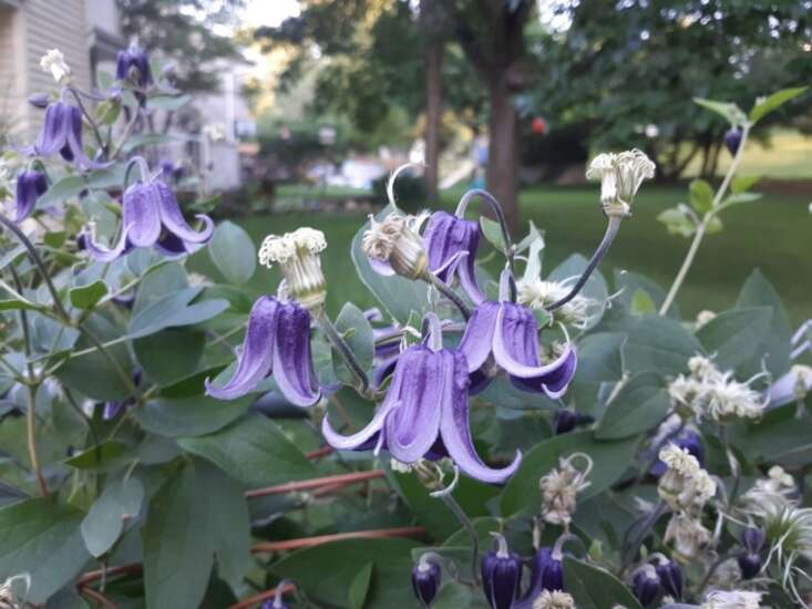Add Clematis vines to your garden for beautiful, colorful blooms