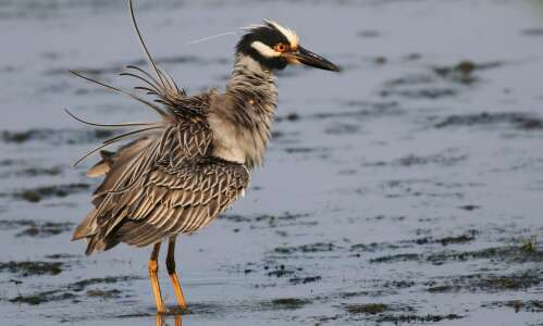 Yellow-crowned night heron visiting Iowa