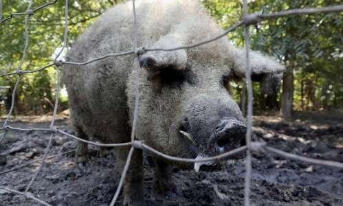 Unusual pigs raised in Columbus Junction bring unmatched flavor